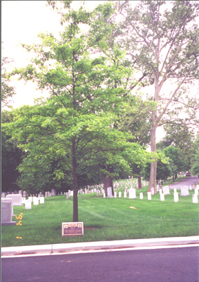 63rd Infantry Division Memorial Marker, Plaque and Tree Arlington Cemetery